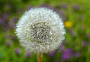 Stop Dandelions from Growing with these Lawn Care Tips
